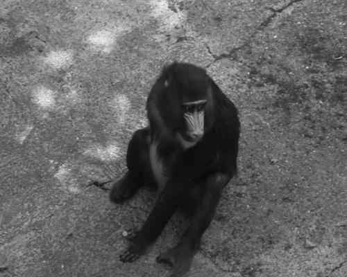 Greffe de cœur : des babouins greffés par des cœurs de cochons ont survécu 6 mois